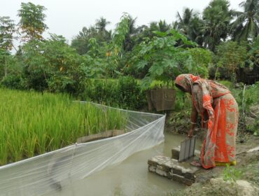 Woman in Bangladesh watering a rice paddy.