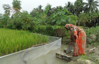 Woman in Bangladesh watering a rice paddy.